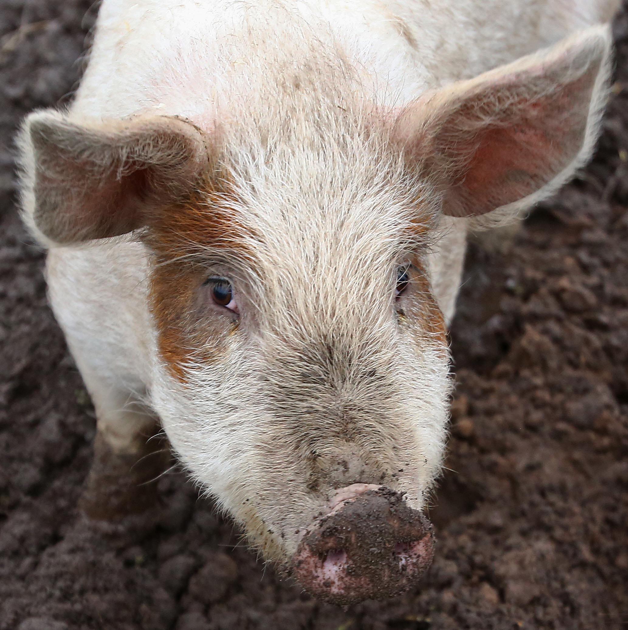 Øko-gris fra Nørremadegaard